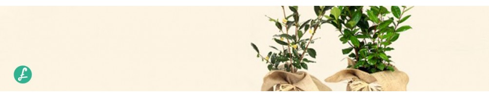 Pianta del tè Online! Diverse misure e diametri