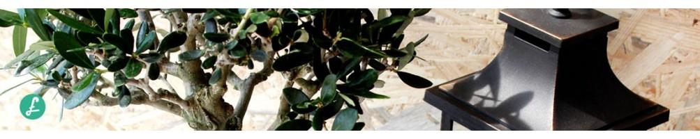 Bonsai olivo in vendita-ampio assortimento diverse età