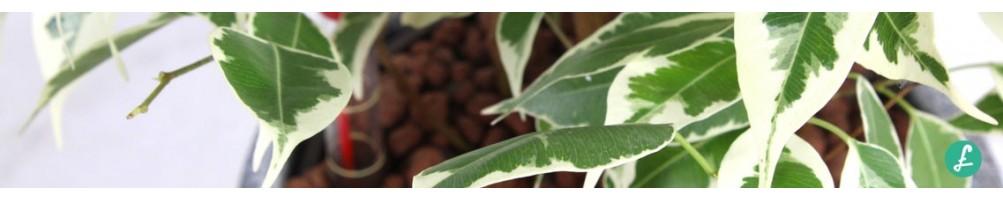 Piante in idrocoltura (idroponica) - pianta da ufficio in vendita online
