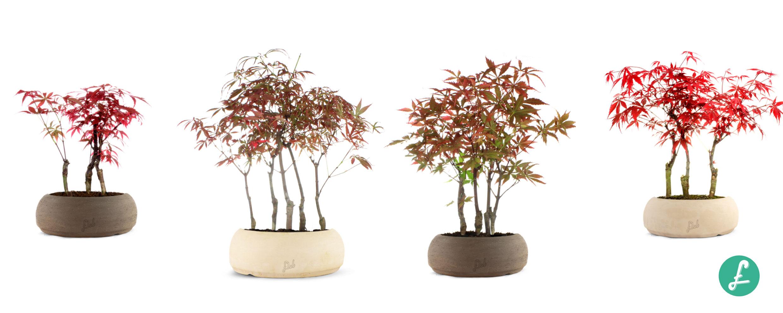 Perchè Acero Rosso Diventa Verde bonsai boschetto: il bosco in miniatura arriva a casa tua