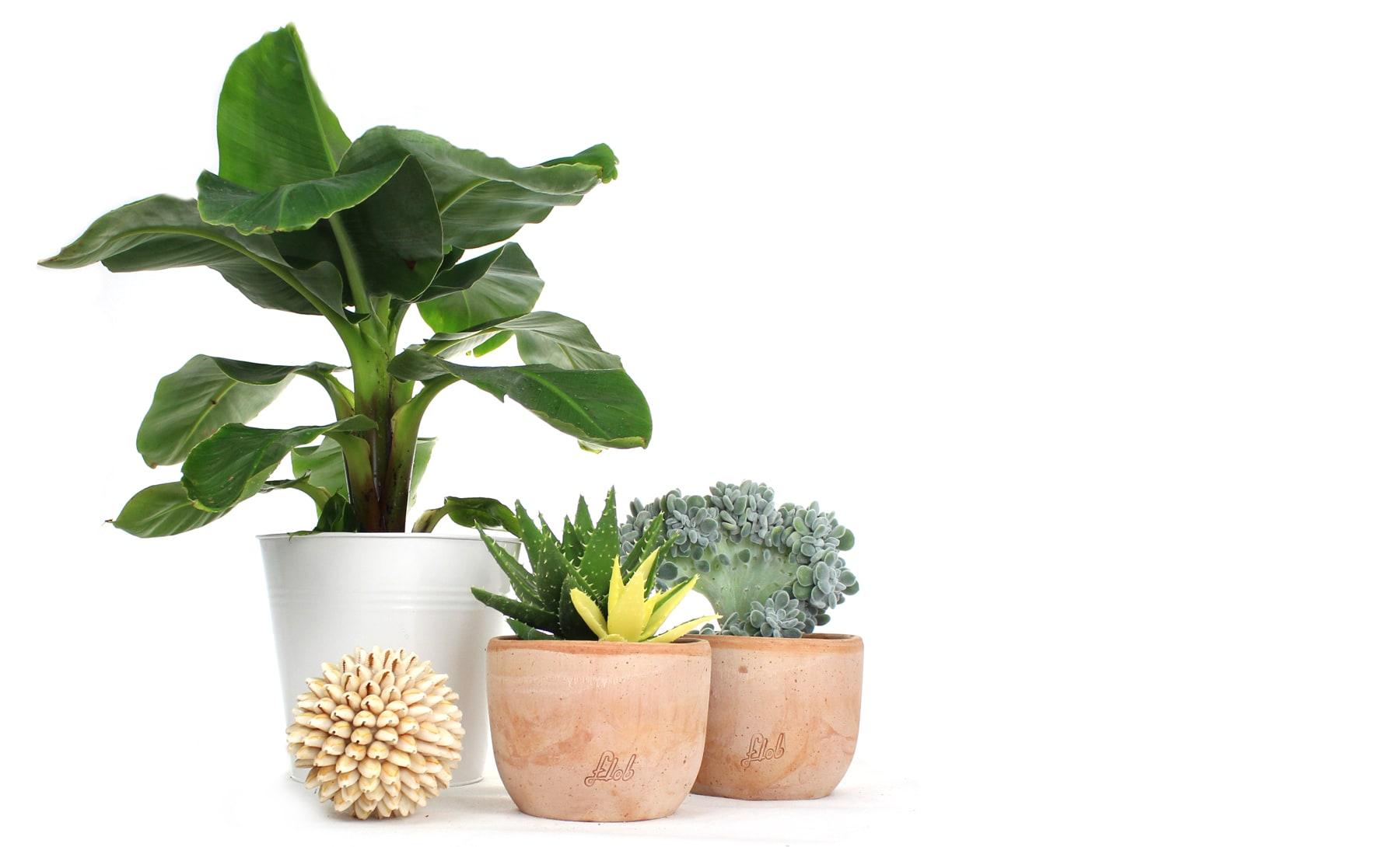 Come Far Morire Una Pianta pianta di banano: si può coltivare in appartamento? - blog